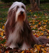 bearded collie Daze