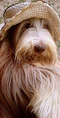 Reggie bearded collie