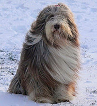 Bearded Collie Reggie